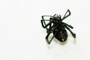 blackwidow spider